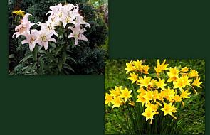 Lilia i liliowiec - nie myl ich