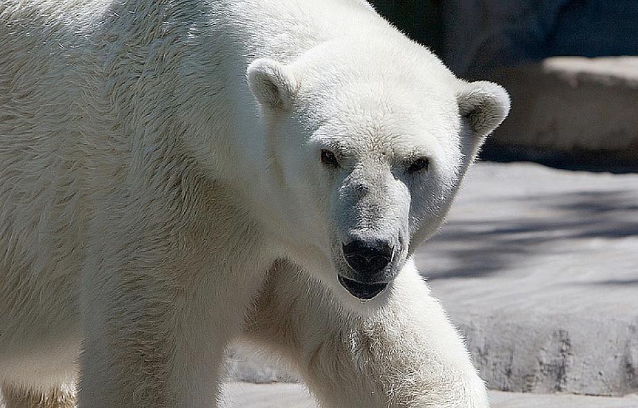 Zmniejsza się liczba misiów polarnych