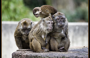 Małpy pocieszają się i uspokajają po konflikcie