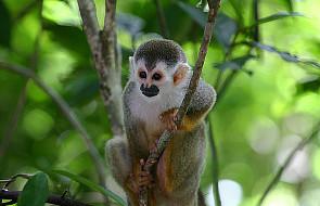 Nowy wirus od małp zaatakował człowieka