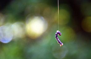 Transgeniczne jedwabniki wyprodukują nici