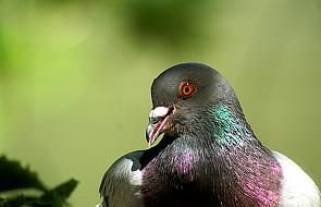 Spór o zaszyfrowany meldunek gołębia