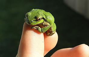 Nowy gatunek żaby odkryto w ... Nowym Jorku