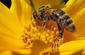 Sytuacja pszczół tragiczna, giną masowo