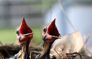 """Mowę i ptasi śpiew """"słychać"""" w lewej półkuli"""