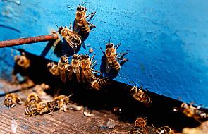 Jak poradzić sobie z użądleniem pszczoły?