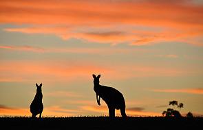 Kangur w aptece na lotnisku w Melbourne