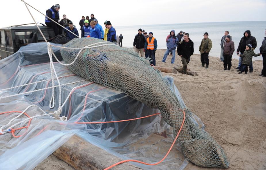 Unieście: zabrano martwego wieloryba z plaży