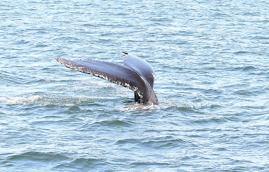 """Ciągle łowią wieloryby w """"celach naukowych"""""""