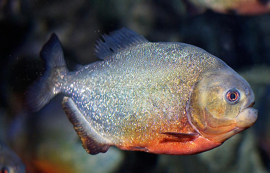 Argentyna: Drapieżne ryby zraniły 70 osób