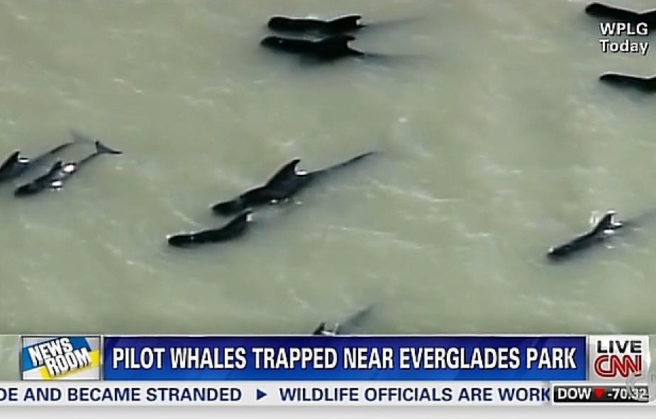 USA: morze wyrzuciło na brzeg 45 wielorybów