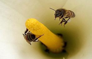 Tak będzie wyglądał świat bez pszczół