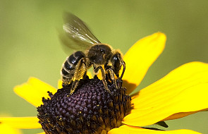 Kanada: Ontario chce ratować pszczoły