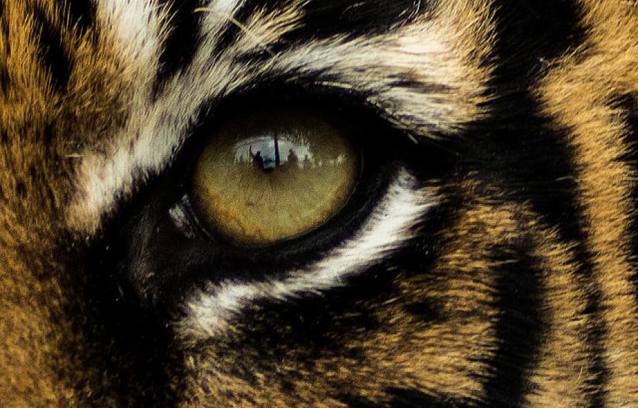 Katolickie oko tygrysa