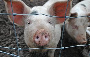 Eksport wieprzowiny do Rosji wstrzymany