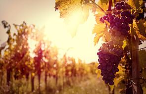 Pestki winogron pomogą w walce z rakiem