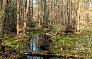 Polityka rujnowania Lasów Państwowych do TK