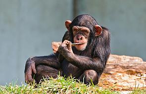 Prawa człowieka dla małp człekokształtnych?