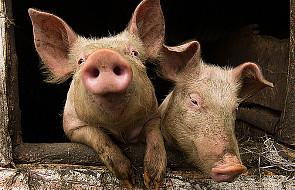 Czy Rosja złagodzi zakaz importu wieprzowiny?