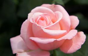 Z zapachem róż