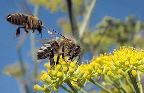 Dolnośląskie: zmniejszy się populacja pszczół