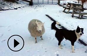 Owca myślała, że jest... (video)