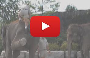 Niefortunna próba wejścia na słonia [VIDEO]