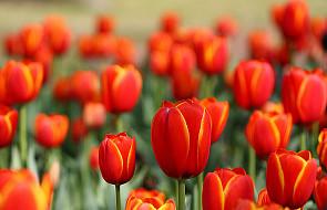 Tulipany Narodowego Dnia Życia rozdane