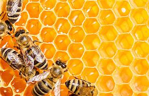 Dlaczego pszczoły są tak ważne?