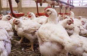 Niemcy: ptasia grypa na farmie