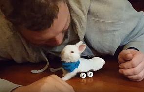 Sparaliżowany królik może się poruszać... dzięki mini-deskorolce