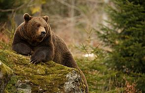 Bieszczady: obudziły się niedźwiedzie
