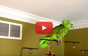 Zobacz papugę, która... się modli [WIDEO]