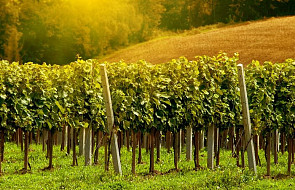 Polskie winnice coraz bardziej popularne wśród turystów