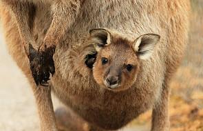 Wielbłąd, kangur, lemury i kudu - baby boom w łódzkim ZOO