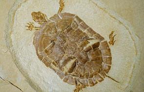 Jeden z najstarszych gatunków żółwi... znaleziony przy śląskim wysypisku