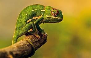 Kameleon drzemie w każdym z nas