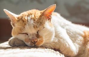 Kot przeszedł 140 km, wrócił do domu i padł z wycieńczenia