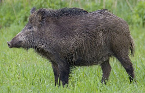 ASF (chorobę afrykańskiego pomoru świń) wykryto u ponad 150 dzików
