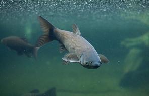 Czy ryby też mają gorączkę, gdy są chore?