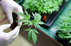 Medyczna marihuana będzie w Polsce legalna