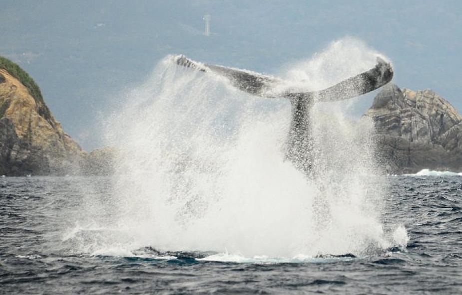 """Japonia wznowi komercyjne połowy wielorybów. """"Połów będzie dokonywany zgodnie z prawem"""""""