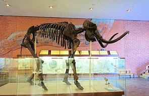Znaleziono szczątki mamuta na budowie II linii metra w Warszawie. Ich wiek to około 100-120 tysięcy lat!