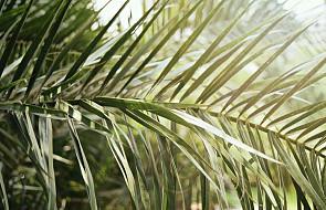 """""""Hosanna Synowi Dawida: błogosławiony, który przychodzi w imię Pańskie"""". Dziś Niedziela Palmowa - początek Wielkiego Tygodnia"""