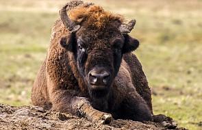 Sześć bieszczadzkich żubrów dołączy do stada w Bułgarii