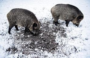 WWF: to ludzie powodują rozprzestrzenianie się afrykańskiego pomoru świń