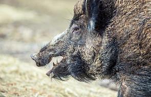 Niemieccy myśliwi odstrzelili rekordową ilość dzików, w celu prewencji przed afrykańskim pomorem świń