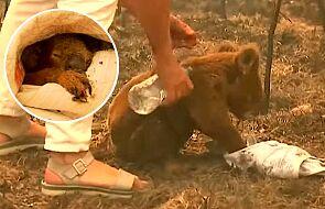 Gdy go uratowano, płakał jak ludzkie dziecko. Młody koala Lewis nie żyje