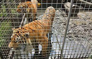Uratowane w Polsce tygrysy w drodze do azylu w Villenie