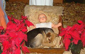 Bezpański pies w żłóbku podbija serca internautów. Położył się obok małego Jezusa [GALERIA]